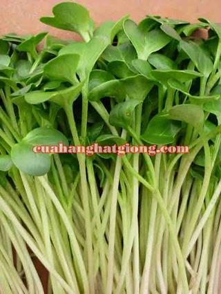 hạt giống rau mầm củ cải