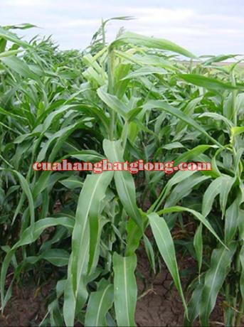 Hạt giống cỏ sudan lai