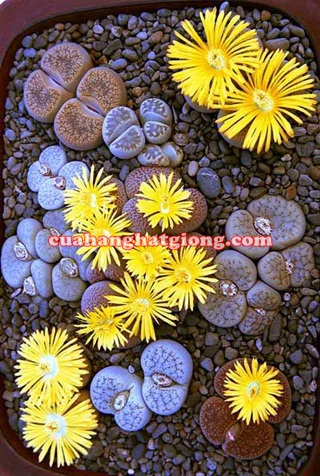 Hạt giống cây hoa sỏi (thạch lan)