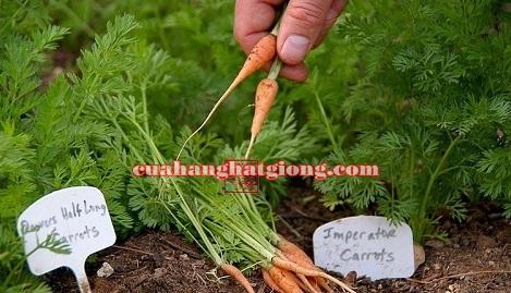 Hạt giống cà rốt tí hon