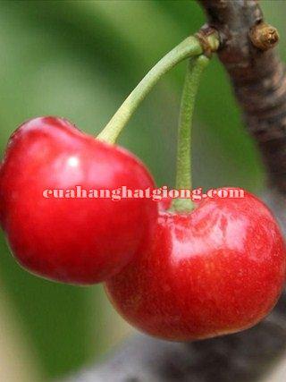 Hạt giống cây cherry